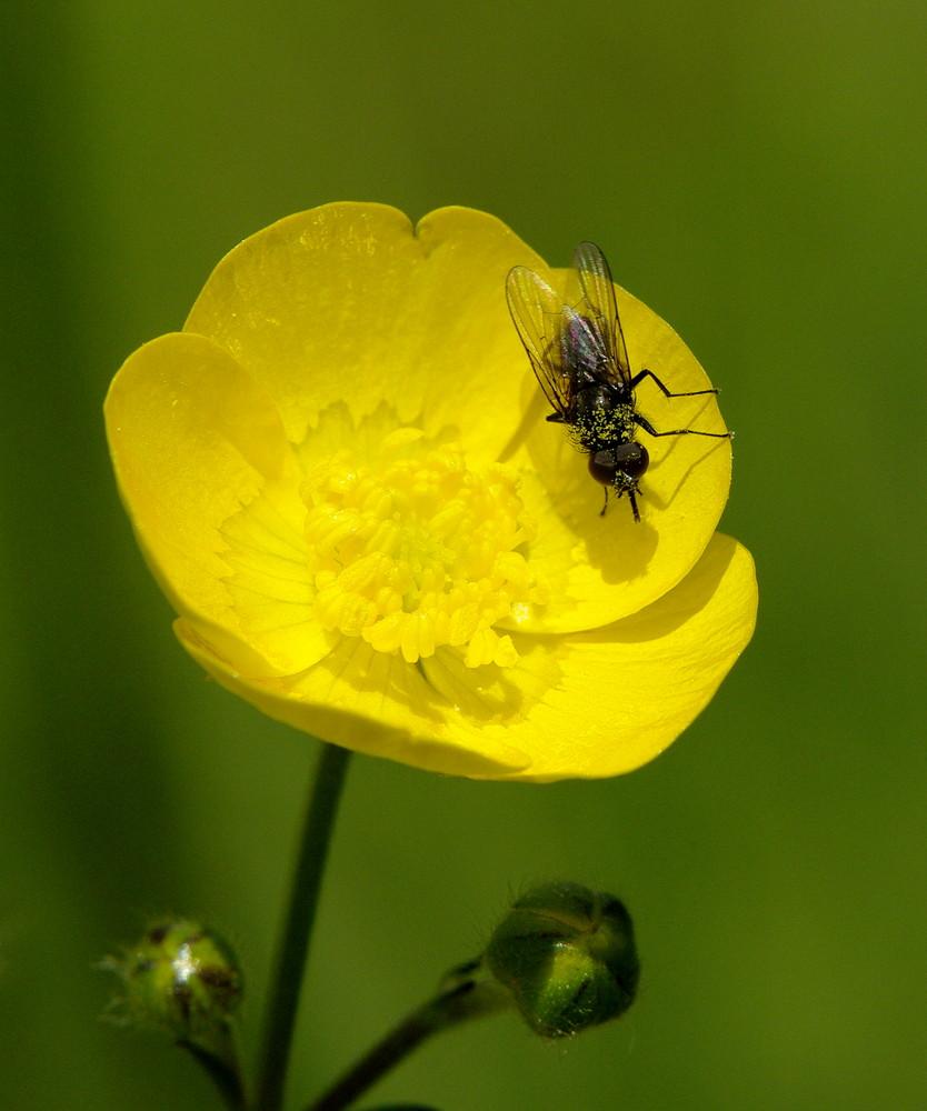 Fliege auf Butterblume