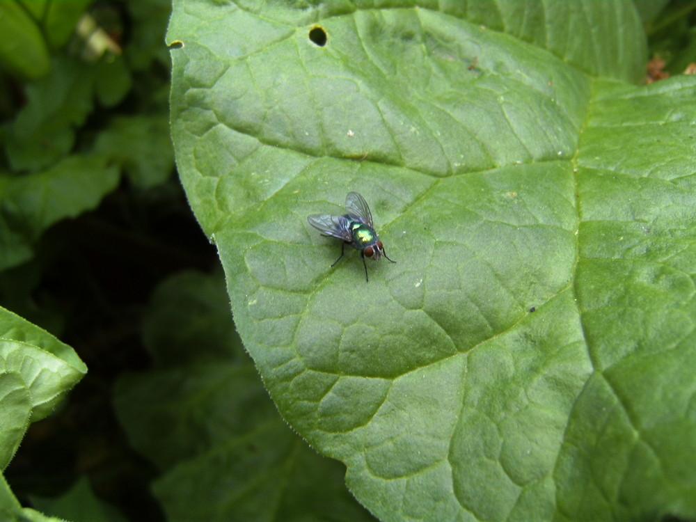 Fliege auf dem Rabarbarblatt