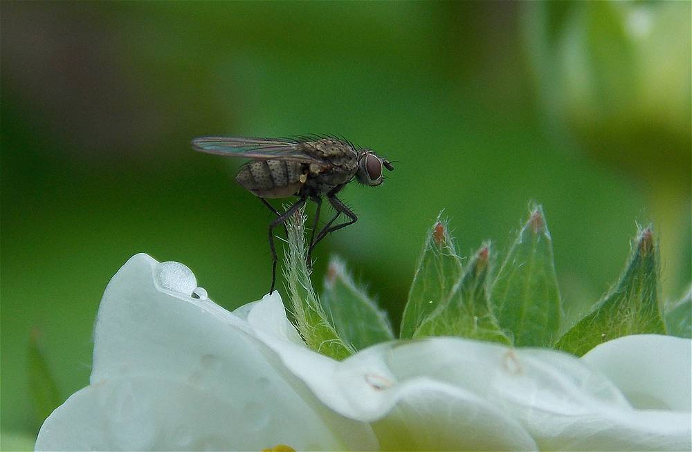 Fliege auf der Erdbeerblüte