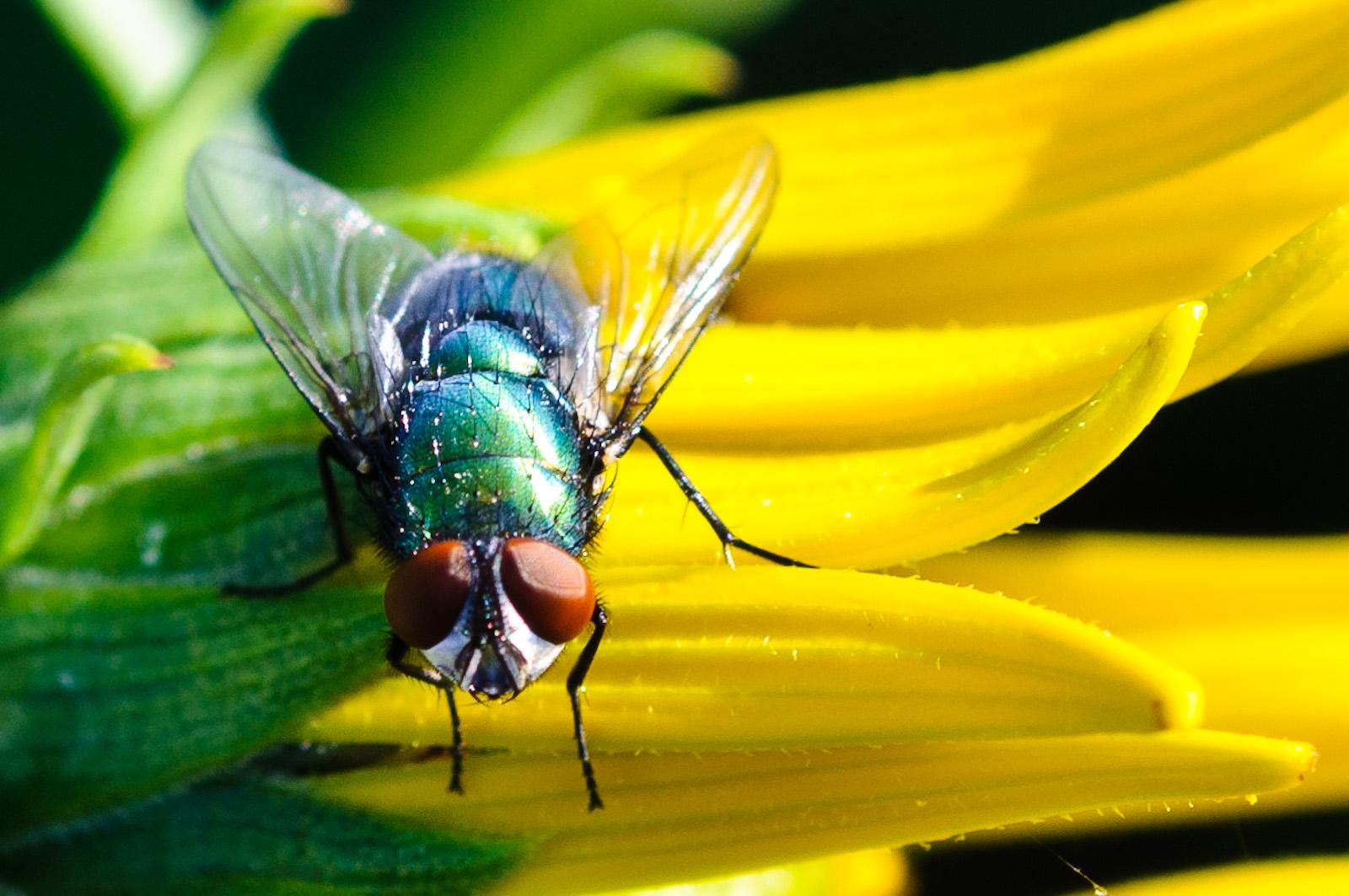 Fliege auf einem Mädchenauge in unserem Garten