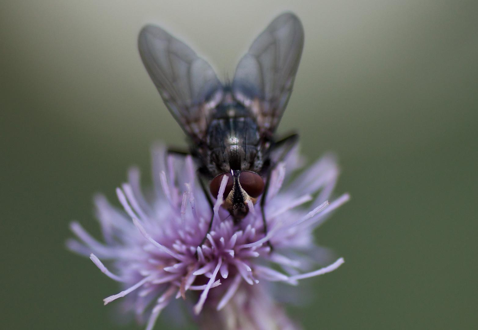 Fliege auf einer Distelblüte