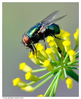 Fliege auf Fenchelblüte