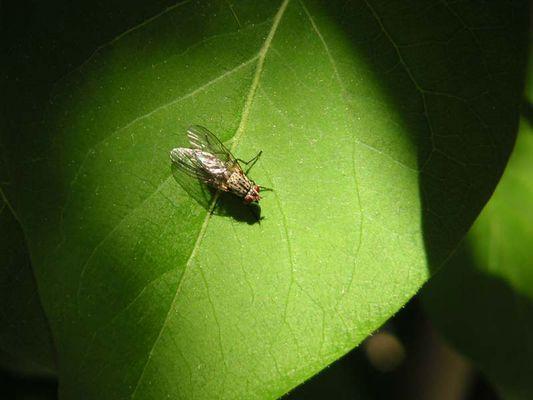Fliege auf Fliederblatt