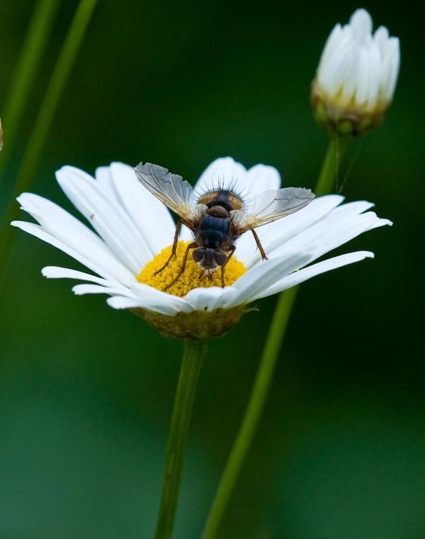 Fliege auf Gänseblümchen