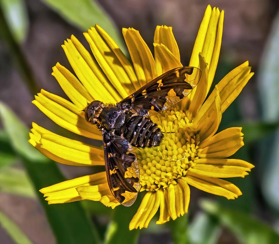 Fliege auf gelber Blüte!