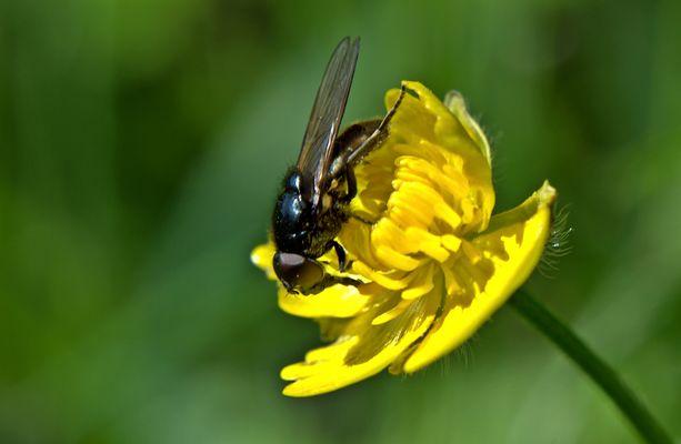 Fliege auf Hahnenfussblüte