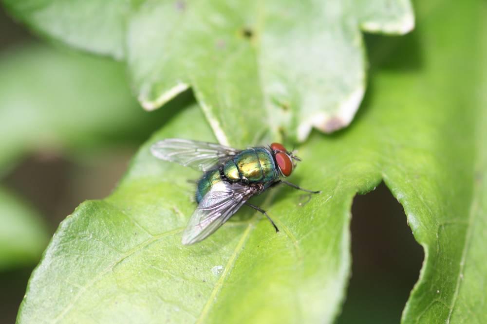 Fliege auf Hibiskusblatt