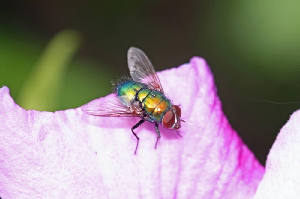Fliege auf Hibiskusblatt II