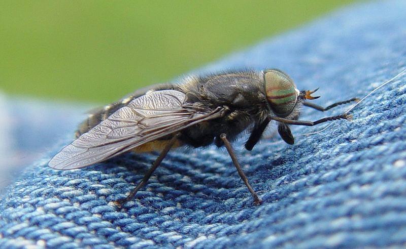 Fliege auf Jeans
