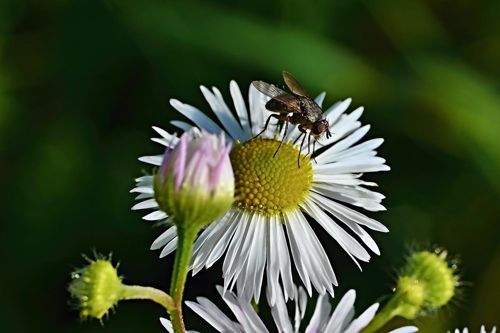 Fliege auf Kamille