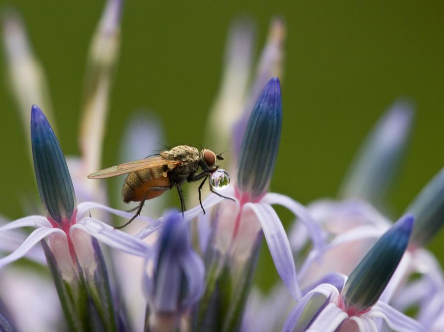 Fliege auf Kugeldistel