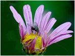 Fliege auf lila Chrysanthemenblüte - 1