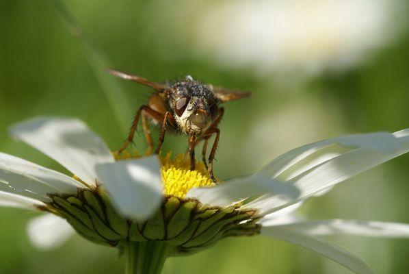 Fliege auf Margarite