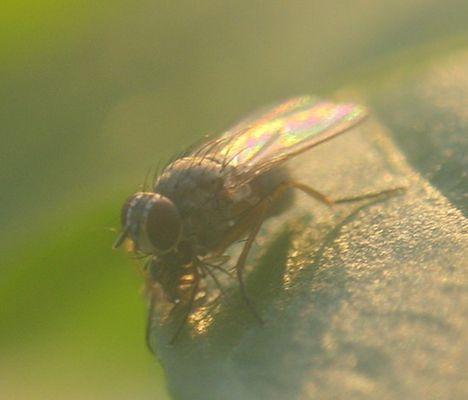 Fliege auf meiner Chillipflanze
