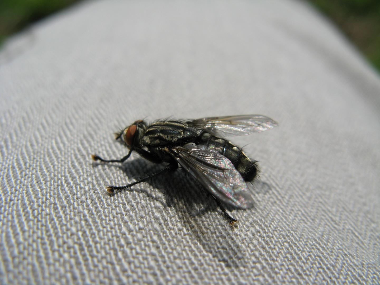 Fliege auf meiner Hose