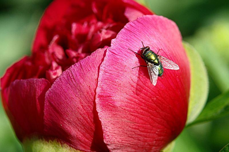 Fliege auf Pfingstrose