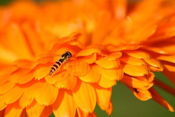 Fliege auf Ringelblume