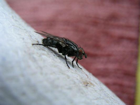 Fliege auf Verband