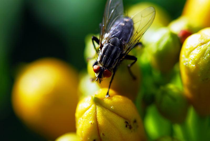 Fliege auf Zierpflanze