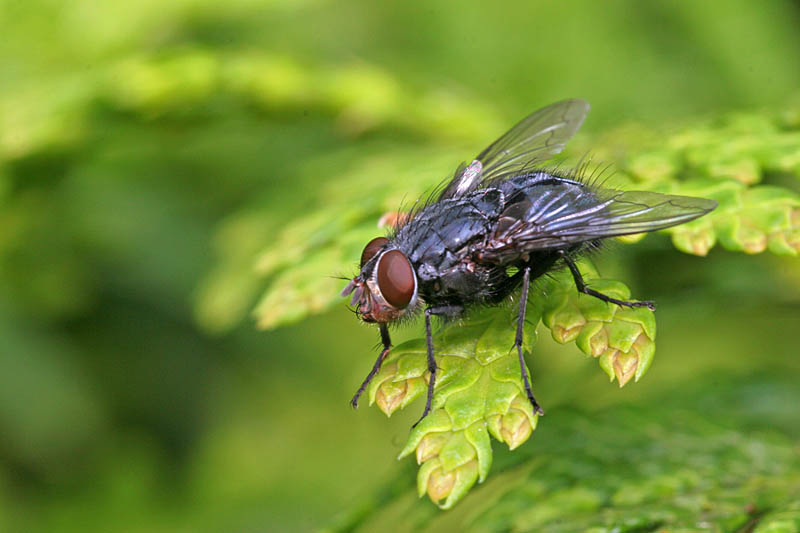 Fliege auf Zypresse