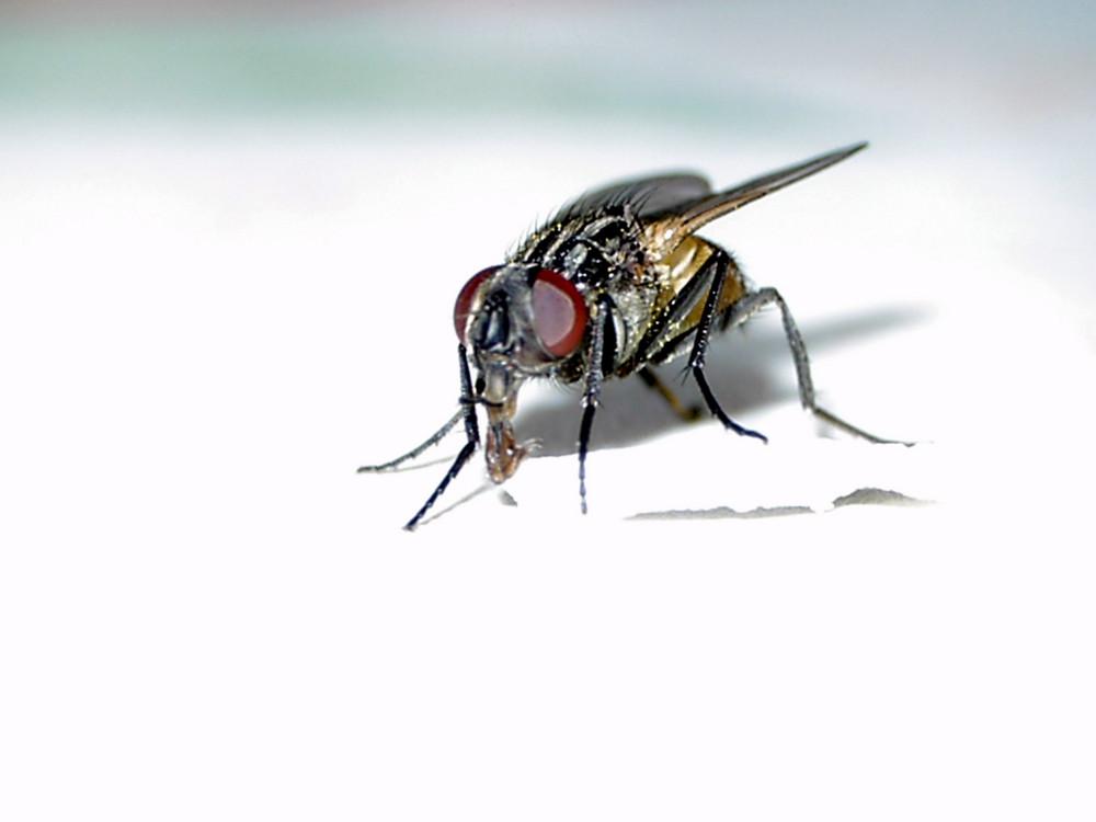 Fliege beim Essen