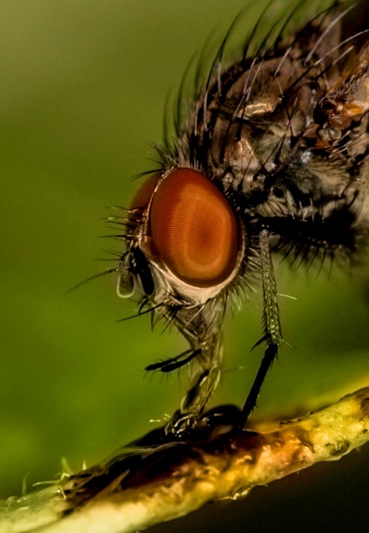 Fliege beim Fressen