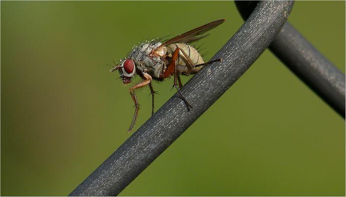 Fliege beim putzen