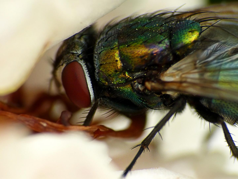 Fliege beim Sirup-Schlürfen im Botanischen Garten in Augsburg