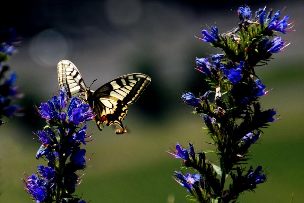 Fliege beißt Schmetterling!