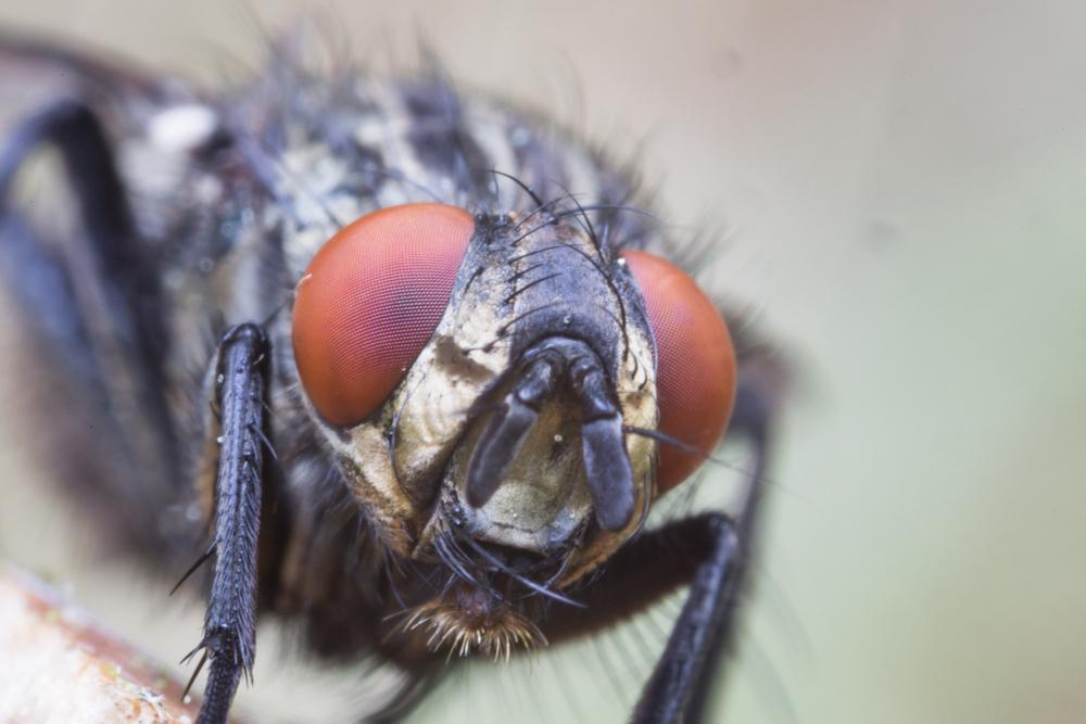 Fliege Detail Frontale