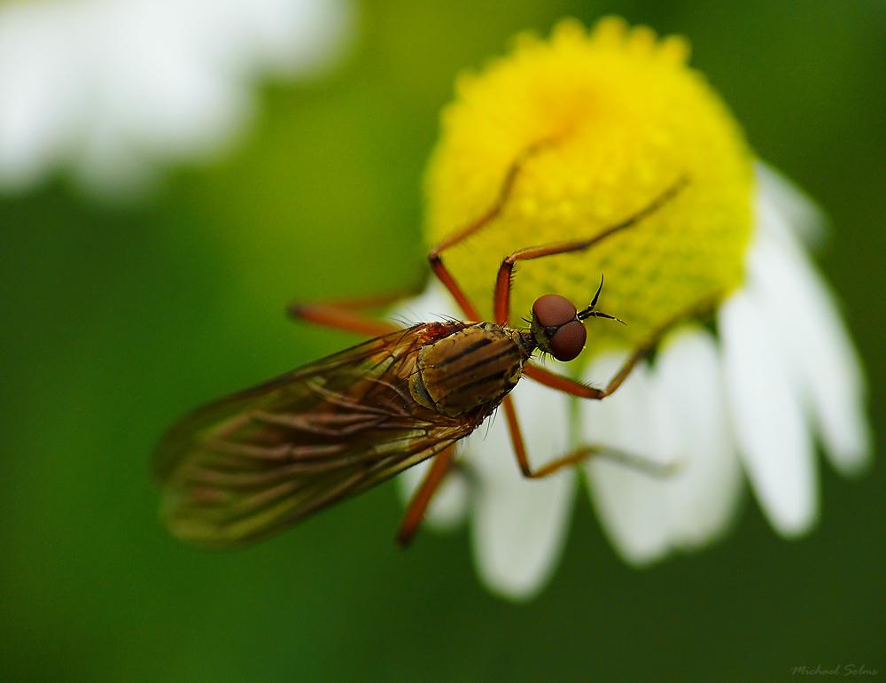 Fliege - Dicke Glupscher