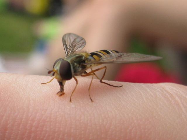 Fliege die aussieht wie eine Wespe (2)