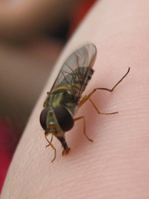 Fliege die aussieht wie eine Wespe