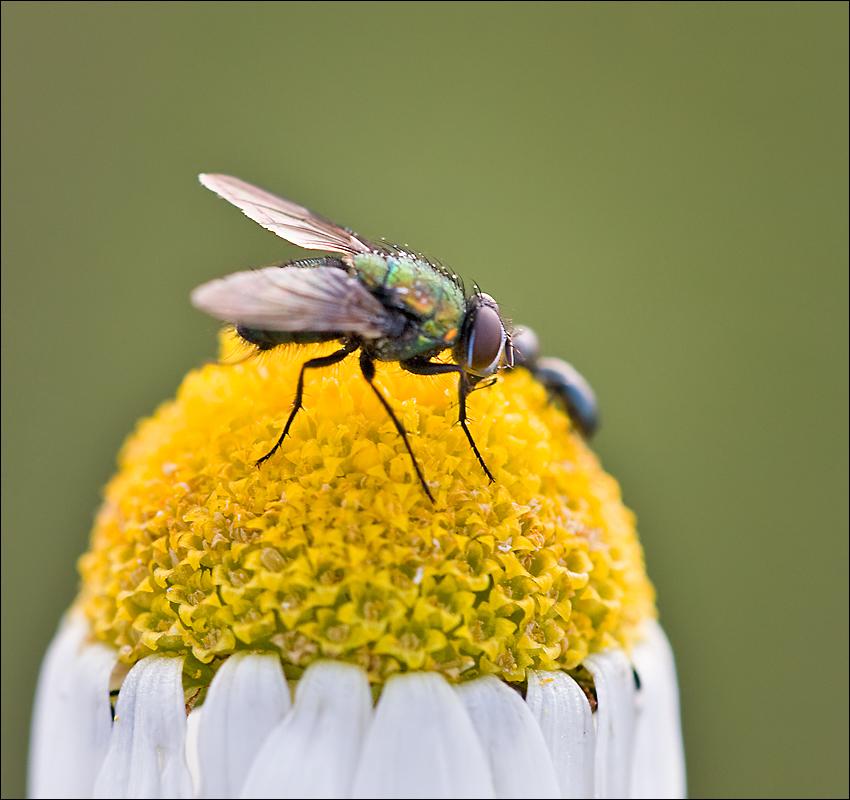 Fliege..