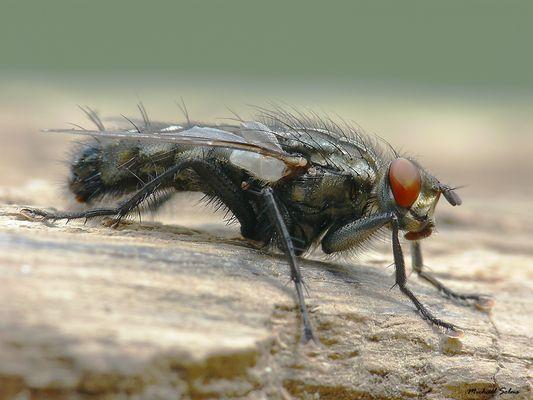 Fliege - Fleischfliege ?