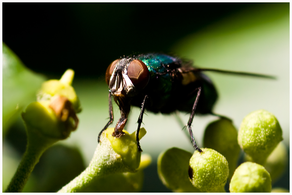 Fliege frontal