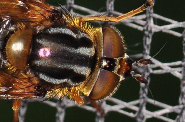 Fliege - ganz nah