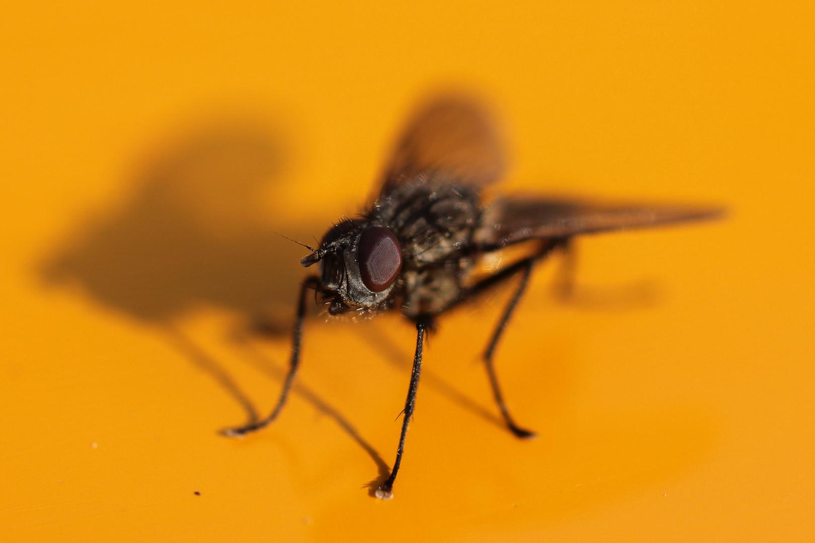 Fliege ganz nahe
