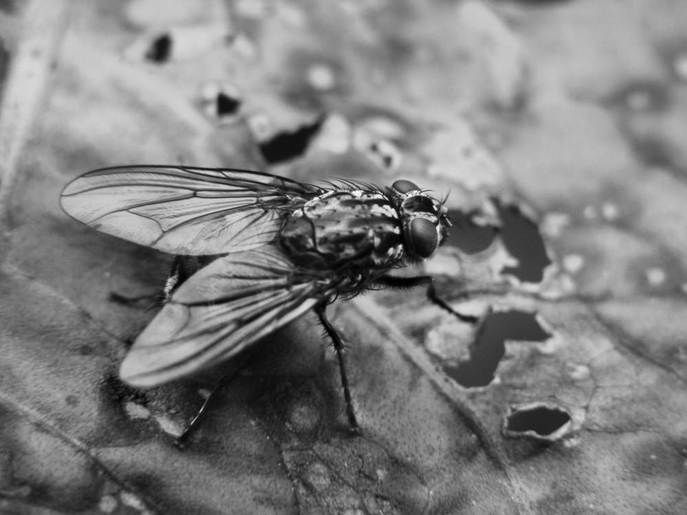 Fliege hautnah