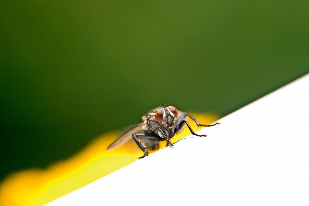 Fliege im Anmarsch