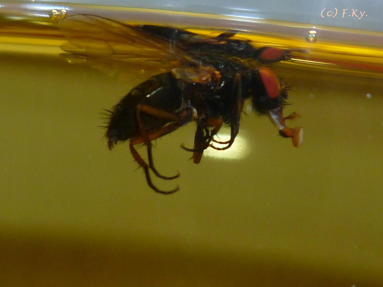 Fliege im Essig-Glas