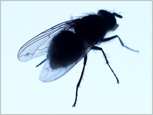 Fliege im Gegenlicht