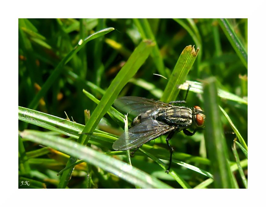 Fliege im Gras
