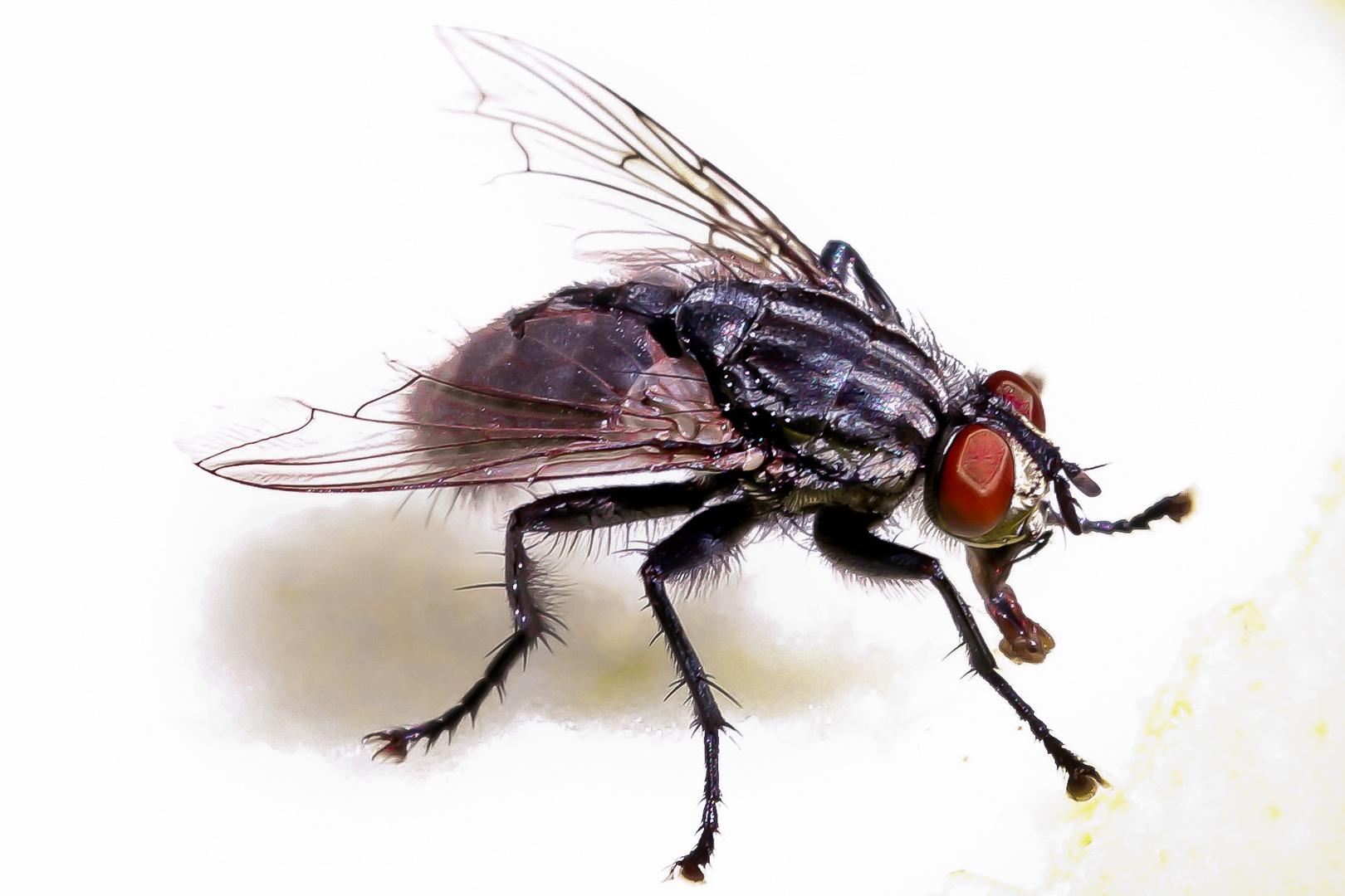 Fliege im Makro