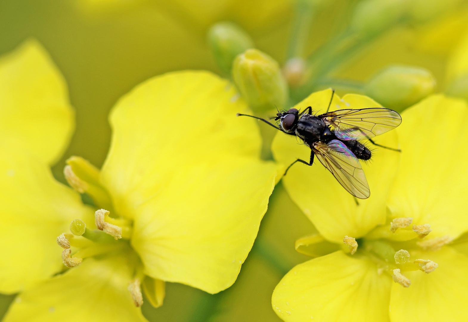 Fliege im Rapsfeld