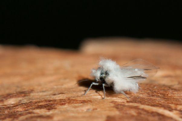 Fliege im Schafspelz 2
