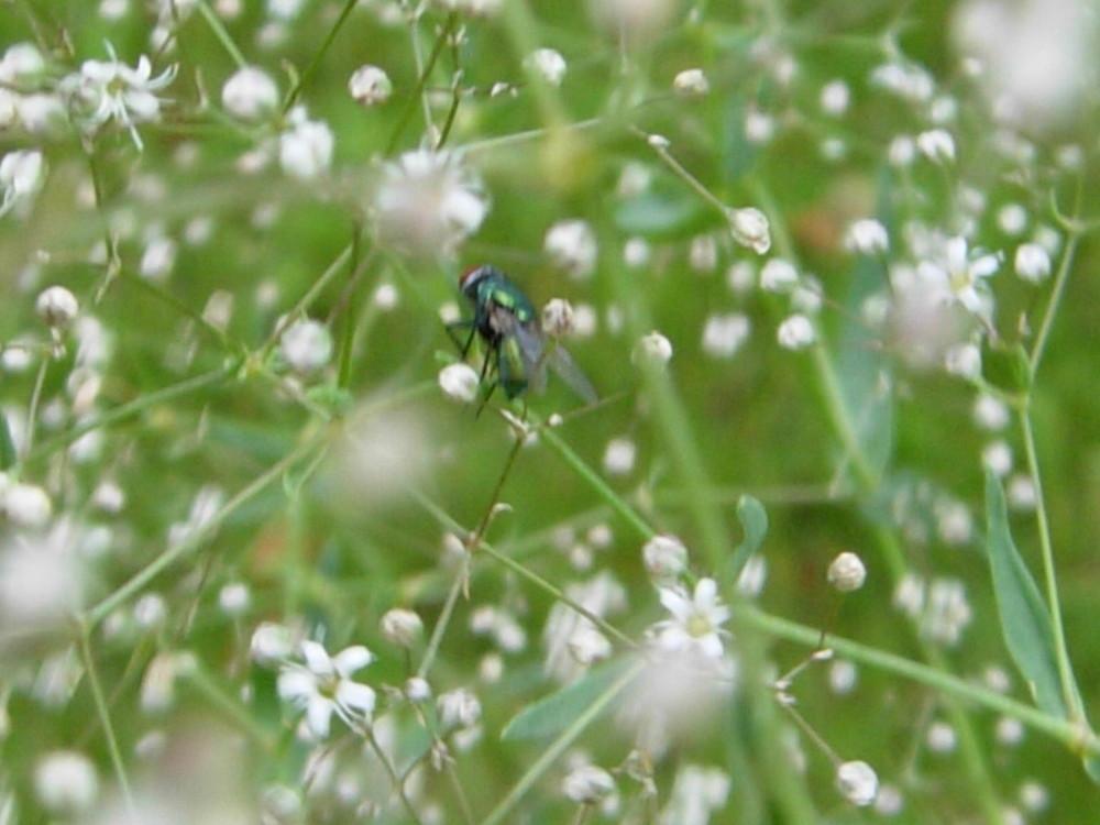 Fliege im Schleierkraut