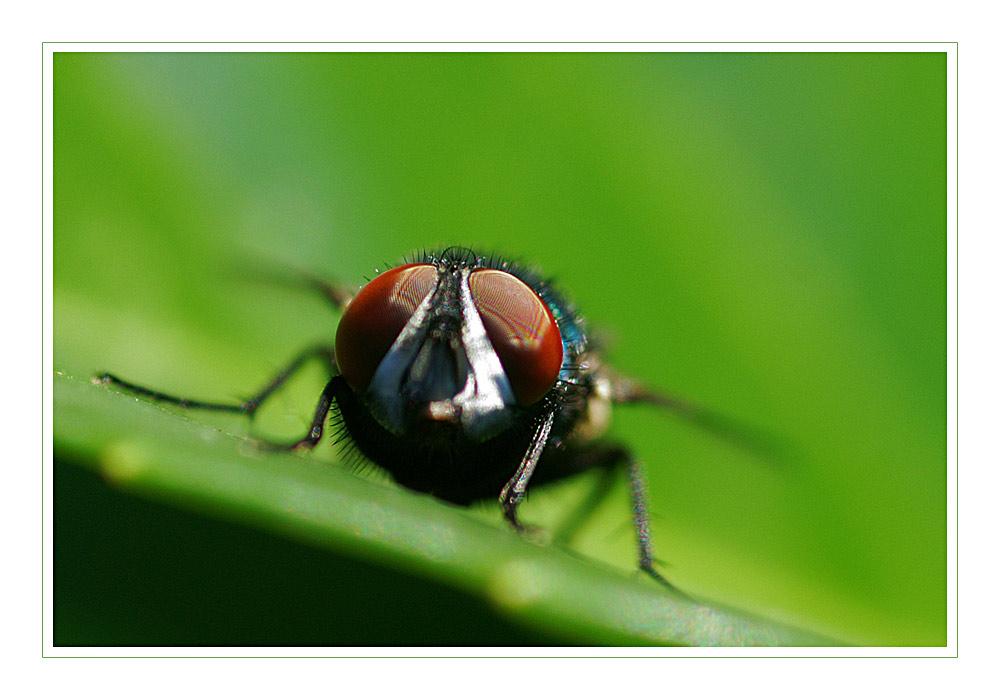 Fliege in der Natur