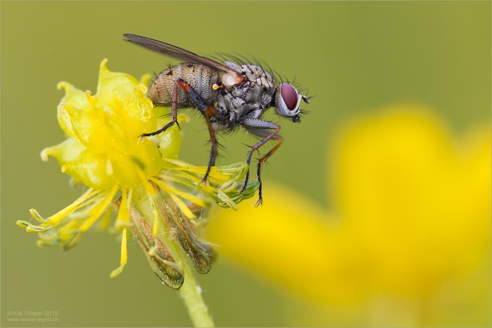 Fliege in Gelb