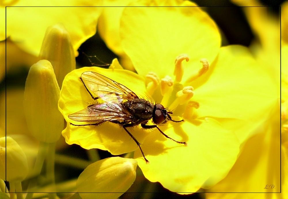 Fliege in Rapsblüte